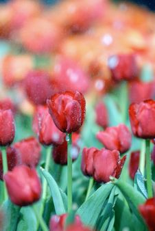 Free Tulips With Dews Stock Images - 4564684