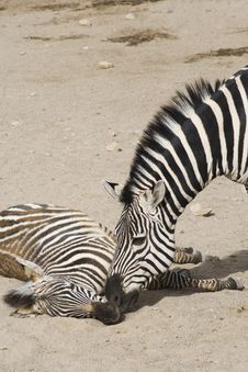 Free Zebra Relation Stock Photo - 4565790