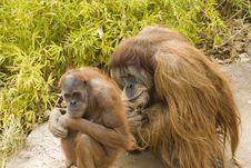 Free Two Orangutans Contemplating Stock Image - 4565791