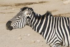 Free Zebra Shaking Mane Stock Images - 4565874