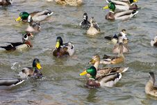 Free Competition In A Duck Pond Royalty Free Stock Images - 4565879