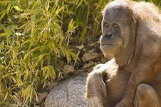 Orangutan Looking At Viewer Stock Photo