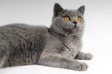 Free Gray Big Cat Royalty Free Stock Image - 4566676