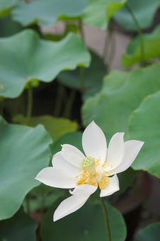 Free Lotus Flower Royalty Free Stock Image - 4567336