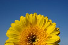Free Yellow Daisy Gerber Detail Royalty Free Stock Photo - 4567735