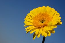 Free Yellow Daisy Gerber Stock Images - 4567754