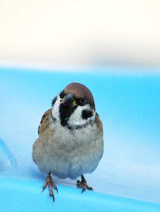 Free Sparrow-2 Royalty Free Stock Image - 4567986