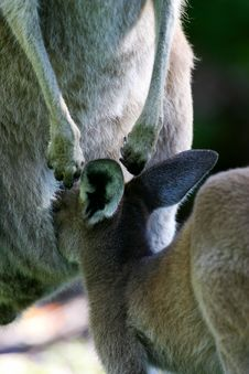 Free Western Grey Kangaroo Stock Images - 4568074