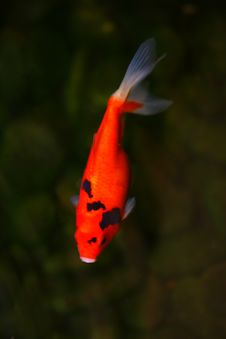 Free Gold Fish Royalty Free Stock Image - 4568166
