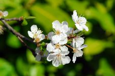 Free White Tree Blossom Stock Photo - 4568480
