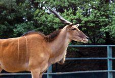 Free Antelope Royalty Free Stock Image - 4569556