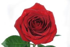 Free Beautiful Red Rose, Isolated Stock Image - 4569981