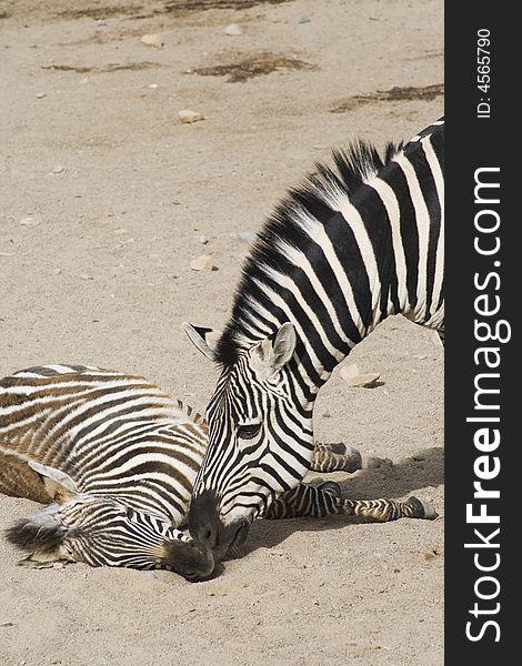 Zebra Relation