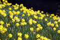 Free Yellow Daffodils Royalty Free Stock Images - 4573809