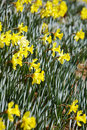 Free Yellow Daffodils Stock Images - 4573854
