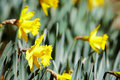 Free Yellow Daffodils Royalty Free Stock Image - 4573876