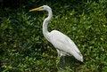 Free Great White Heron Stock Image - 4574861