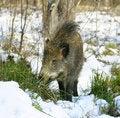 Free Wild Boar Royalty Free Stock Photo - 4577585