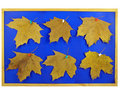 Free Notice-board With Last Year S Maple Leafs Stock Photography - 4579302