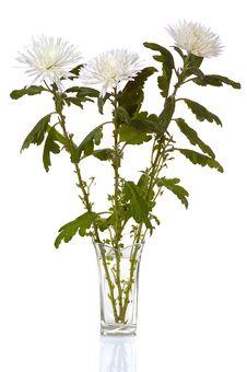 White Chrysanthemum Royalty Free Stock Photo