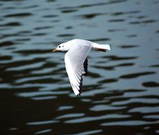 Free River Gull Royalty Free Stock Photography - 4571367