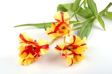 Free Three Tulips Blossom Out Stock Image - 4572021