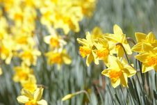 Free Yellow Daffodils Stock Photo - 4573630