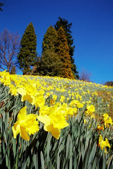 Free Yellow Daffodils Stock Images - 4573884