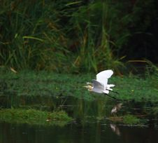 Egret Flying Royalty Free Stock Photo
