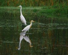 Free Egret Stock Photography - 4574522