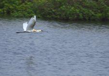 Spoon Bill Stork Flying Stock Image