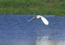 Free Egret Flying Royalty Free Stock Images - 4574729