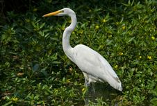 Free Great White Heron Stock Image - 4574861