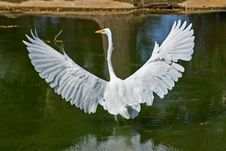 Free Great White Heron Royalty Free Stock Image - 4574866