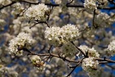 Free Blooming Trees Royalty Free Stock Photos - 4575698