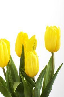 Free Fresh Tulips Royalty Free Stock Photos - 4576308