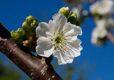 Free Blooming Trees In A Spring Royalty Free Stock Photography - 4576447
