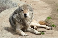 Free Wolf Stock Photos - 4576603