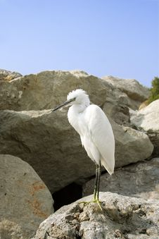 Free Great Egret ( Ardea Alba ) Royalty Free Stock Images - 4577169