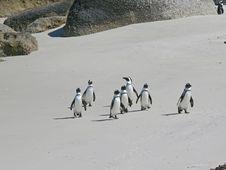Free Penguins Stock Photo - 4577330