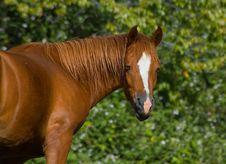 Free Brown Horse Royalty Free Stock Photos - 4577628