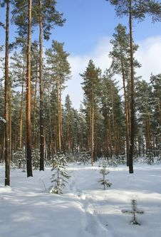 Free Winter Forest. Royalty Free Stock Images - 4577629