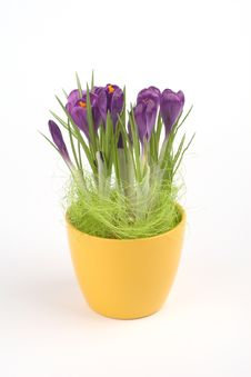 Free Violet Crocuses Royalty Free Stock Photography - 4578317