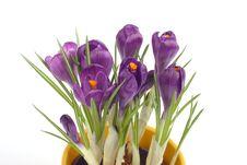 Free Violet Crocuses Royalty Free Stock Photo - 4578335