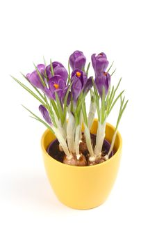 Free Violet Crocuses Royalty Free Stock Photos - 4578358
