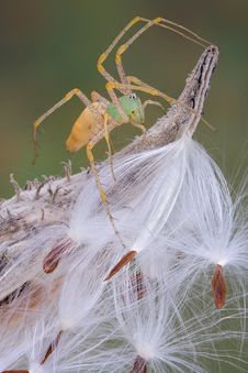 Free Lynx Spider On Milkweed Royalty Free Stock Photos - 4579678