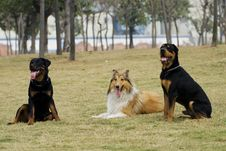 Free The Dogs Of Collie And Asheng Royalty Free Stock Photos - 4579698