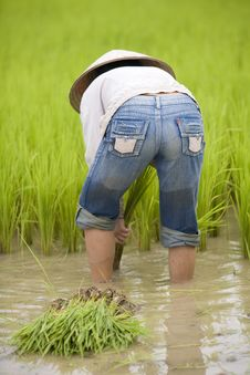 Free Work On The Rice Field, Laos Royalty Free Stock Photography - 4579767