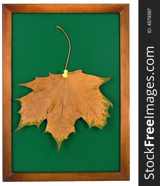 Maple leaf in frame