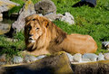 Free African Lion Stock Photography - 4581312
